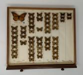 Milkweed butterfly specimens in an entomology drawer