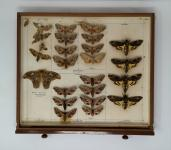 Moth specimens in an entomology drawer