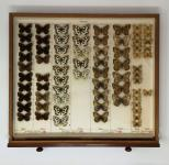 Drawer of Butterfly specimens