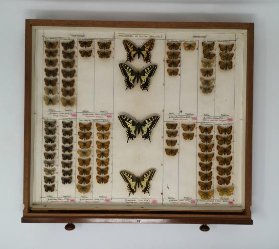 Butterfly specimens in an entomology drawer