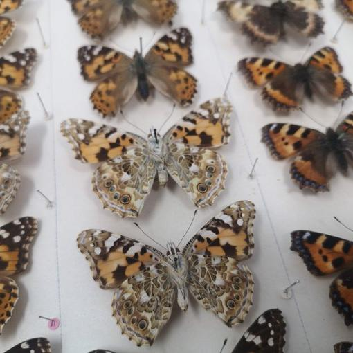 A collection of butterflies arranged on a board