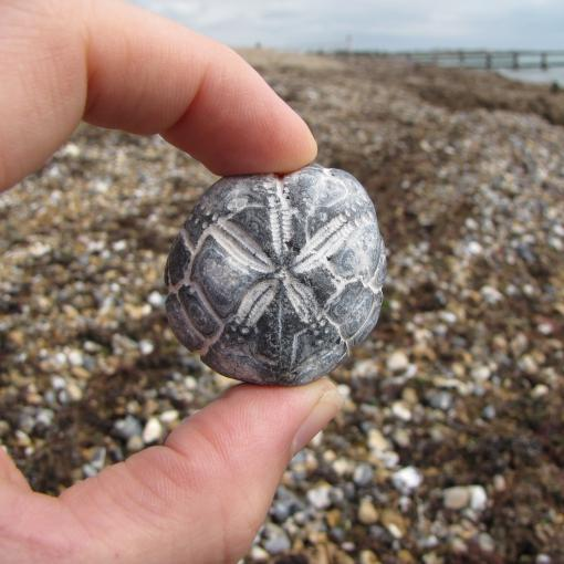 fossil hunting on Littlehampton beach. A hand holds up a fossil with the sea in the background.